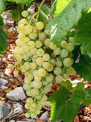 外文别名:Amique, Amigne Blanche, Grande Amigne, Grosse Amigne,Petite Amigne.原产地:瑞士种植区域:瑞士典型香气:柑橘类水果、核果、苦