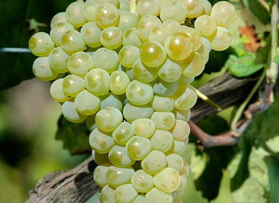 中文别名:安图奥维斯、安陶瓦兹外文别名:Antonio Vaz原产地:葡萄牙种植区域:葡萄牙典型香气:柑橘、蜂蜜、桃和香蕉等起源:安桃娃(Antao Vaz)是一个种植历史悠久的白葡萄品种,很可能起源