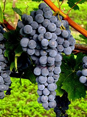 中文别名:紫威特、兹威格外文别名:Blauer Zweigelt, Rotburger, Zweigeltrebe原产地:奥地利种植区域:奥地利、德国、英国典型香气:紫色莓果、酸樱桃和黑樱桃起源:19