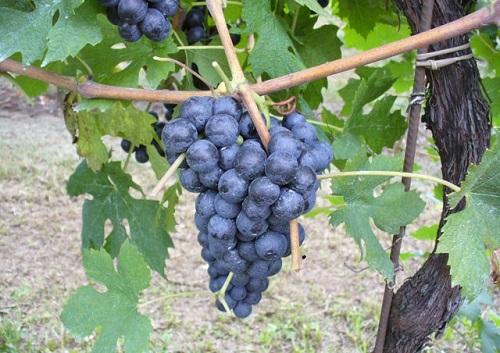 中文别名:维恩努斯外文别名:Gros Rouge, Gros Vien, Oriou Gros原产地:意大利种植区域:意大利典型香气:樱桃和草本植物等起源:薇安(Vien de Nus)是一种极为稀有