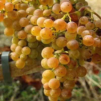 中文别名:白添普兰尼洛、添普兰尼洛白葡萄原产地:西班牙种植区域:西班牙典型香气:柑橘、热带水果和白色花朵起源:白丹魄(Tempranillo Blanco)是西班牙红葡萄品种丹魄(Tempranill