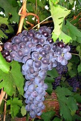中文别名:维门提诺、维门蒂诺外文别名:Vermentina Nera原产地:意大利托斯卡纳(Tuscany)种植区域:意大利托斯卡纳(Tuscany)典型香气:黑色水果、红色水果、咖啡和香料起源:黑维