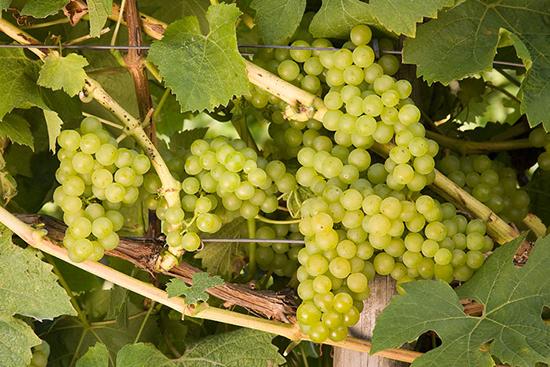 外文别名:Alzey 10487原产地:德国种植区域:瑞士、英国、新西兰、德国莱茵黑森(Rheinhessen)和那赫(Nahe)典型香气:柑橘类水果、接骨木花、苹果和香料起源:乌泽尔(Wuzer)于