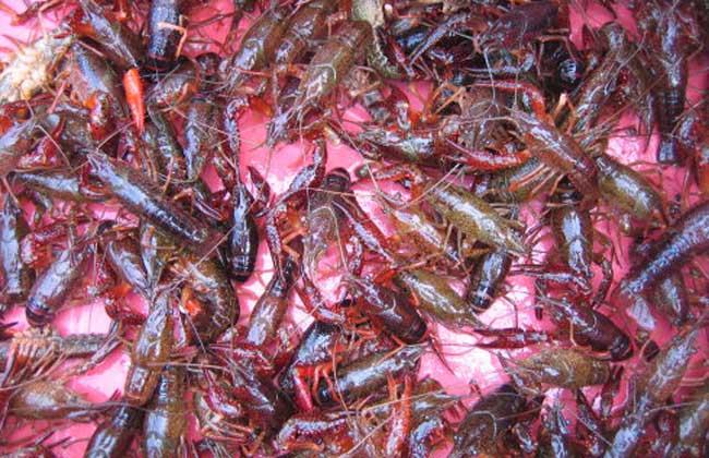 淡水龙虾养殖成本预算