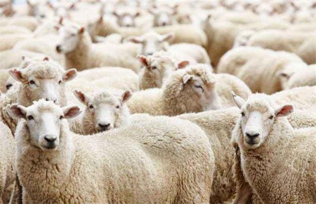<br />                 现在已经正式入冬了,温度越来越低,也到了羊肉的旺季。肉羊养殖成为了我国比较重要的几个养殖项目之一,但是很多养羊户在养殖过程中都会发现。肉羊养殖效益并不高,而且有时肉质还非常差。那么是什么原因导致的呢?下面小编就为大家带来了影响肉羊养殖效益的因素,一起来看看吧!<br /> <br /> 1、品种<br /> 影响肉羊养殖效益的首要因素就是品种了,虽然现在市场上的品种几乎都可以食用。但是品种的不同会造成羊肉膘量与品质的不同,例如细毛羊的主要用途是羊毛,羊肉的含量不到一半,如果用于肉羊养殖的话
